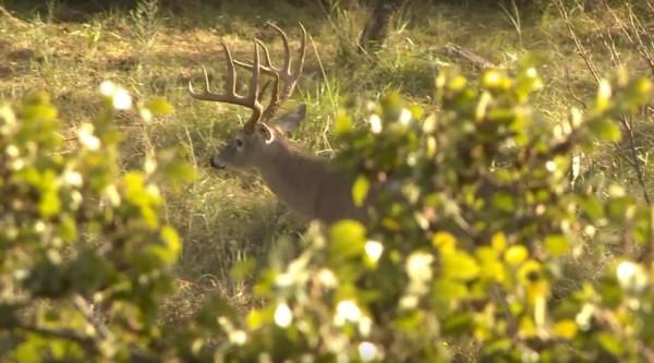 Texas Whitetail Buck